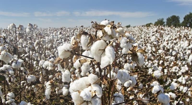 algodón egipcio